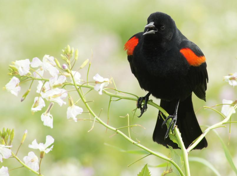 Male Red-Winged Blackbird calls to others