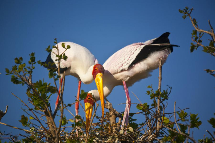 The Yellow beak Stocks making their nest in  Okavango Delta, Botswana