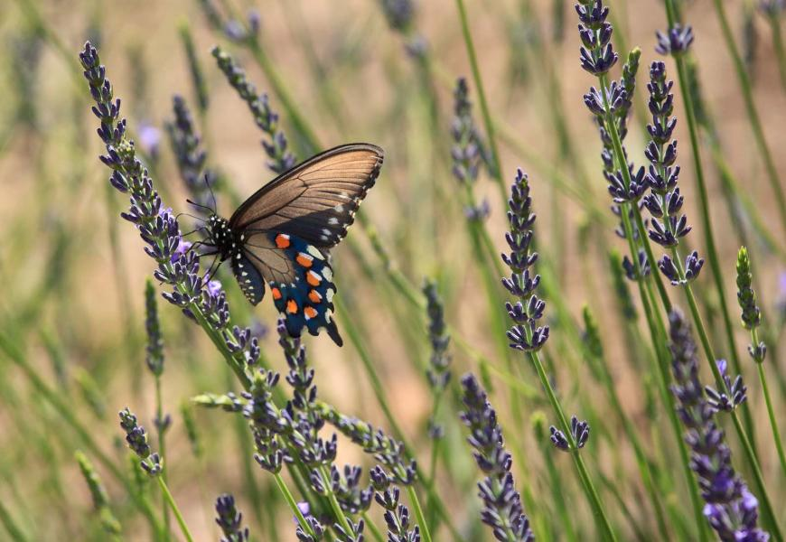 Pipevine Swallowtail (Battus philenor) Feeding on Nectar in Lavender Field