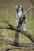 Ring-Tailed Lemur displays grasping toes
