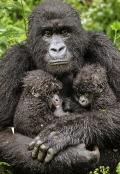 Mountain Gorilla with Twins